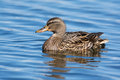Female Mallard Stock Photography - 76966082