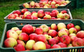 Apple Harvesting With The Boxes Royalty Free Stock Photography - 76983427