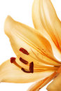 Lily Royalty Free Stock Photo - 7706735