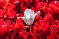 White Red Tulip Royalty Free Stock Images - 77024289