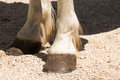 Hooves Royalty Free Stock Image - 77045816