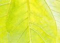 Sunflower Leaf Garden, Texture,Agriculture,flower,botany Royalty Free Stock Image - 77066526