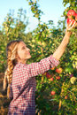 Young Woman Picking Apples From Apple Tree On A Lovely Sunny Sum Royalty Free Stock Photos - 77079658