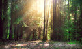Misty Old Forest Royalty Free Stock Photos - 77079778