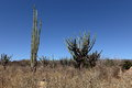 Large Cacti In The Caatinga Landscape Of Brazil Stock Photos - 77095683