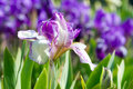 Iris Flower Royalty Free Stock Images - 7715509