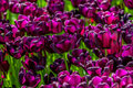 Purple Velvet Tulips Stock Photo - 77100610