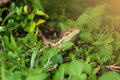 Forest Crested Lizard,Animal:Reptiles Stock Images - 77122984