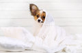 Cute Puppy On Pillows Stock Photography - 77127302