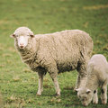 Sheep On The Farm Stock Image - 77128201