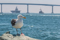 Seagull With Coronado Bridge And Navy Vessels In San Diego Royalty Free Stock Photography - 77171757