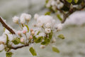 Pear Tree Blossom In Snow Stock Image - 77183761