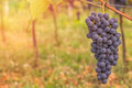 Red Grape Close Up In A Vineyard During Autumn Royalty Free Stock Photography - 77291017