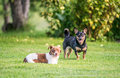 Two Dogs Playing Royalty Free Stock Photos - 77303748