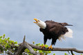 Bald Eagle Screaming, British Columbia, Canada Royalty Free Stock Photo - 77314585
