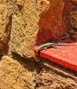 Rainbow Skink Royalty Free Stock Image - 77334456