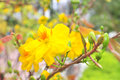 Yellow Apricot Blossom In The Spring Stock Image - 77334801