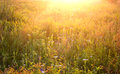 Background Plant On The Field During Sunset Dawn Royalty Free Stock Photography - 77334997