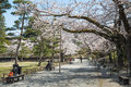 Cherry-blossom Trees In Tsuruga Castle Park. Royalty Free Stock Photo - 77365415