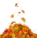 Pile Of Autumn Maple Colored Leaves Isolated Royalty Free Stock Photos - 77368868