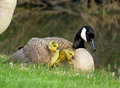Canada Goose With Gosling Under Her Wing Royalty Free Stock Photos - 77393658