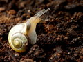 Close-up Snail On Organic Soil Nature Background  Royalty Free Stock Photography - 77399737