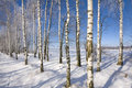 Birch Alley Royalty Free Stock Photography - 7744017