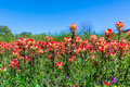 Orange Indian Paintbrush Wildflowers In Texas Royalty Free Stock Photography - 77401867