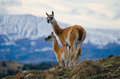 Guanaco Stands On The Crest Of The Mountain Backdrop Of Snowy Peaks. Torres Del Paine. Chile. Royalty Free Stock Images - 77406359