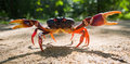 Land Crab Spread Its Claws. Cuba. Royalty Free Stock Photos - 77438898