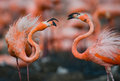 Game Two Adults Of The Caribbean Flamingo. Cuba. Reserve Rio Maximа. Stock Images - 77442094