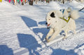Husky Dog In Harness Running Through The Snow Royalty Free Stock Images - 77487469
