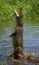 The Cuban Crocodile Jumps Out Of The Water. Stock Photos - 77494983