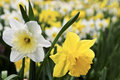 Daffodils Royalty Free Stock Photos - 7753678