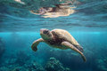 Green Sea Turtle At Surface Royalty Free Stock Photography - 77505827
