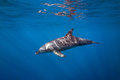 Sunkissed Dolphin Royalty Free Stock Photo - 77506025