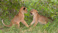Two Lion Cubs (Panthera Leo) Playing Royalty Free Stock Images - 77520639