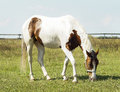 Horse With Brown Spots And Light Mane Standing On Green Grass Royalty Free Stock Photo - 77563665