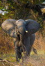 Wild Elephant Is Standing In The Bush. Zambia. South Luangwa National Park. Royalty Free Stock Photo - 77570235