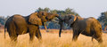 Two Elephants Playing With Each Other. Zambia. Lower Zambezi National Park. Stock Photography - 77573112