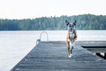Energetic Dog Running On Dock At Lake Stock Images - 77578214