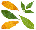 Green And Yellow Autumn Leaves Of Ash Tree Stock Image - 77604921