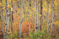 Aspens In The Wasatch Mountains. Royalty Free Stock Images - 77611629