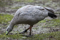 Cape Barren Goose (Cereopsis Novaehollandiae). Royalty Free Stock Photography - 77630257