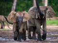Forest Elephants Playing With Each Other. Royalty Free Stock Photography - 77662887