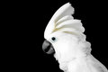 Close-up Crested Cockatoo Alba, Umbrella, Indonesia, Isolated On Black Background Stock Photography - 77677062