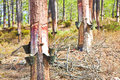 Extraction Of Natural Resin From Pine Tree Trunks - (Europe - Po Royalty Free Stock Photo - 77701575