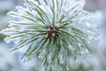 The Frozen Droplets Of Ice On Pine Needles. Royalty Free Stock Images - 77736849