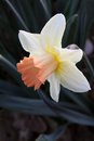 Daffodil Flower Royalty Free Stock Images - 77740519