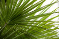 Chamaerops Humilis Plant - Beautiful Details And Texture Royalty Free Stock Photography - 77777057